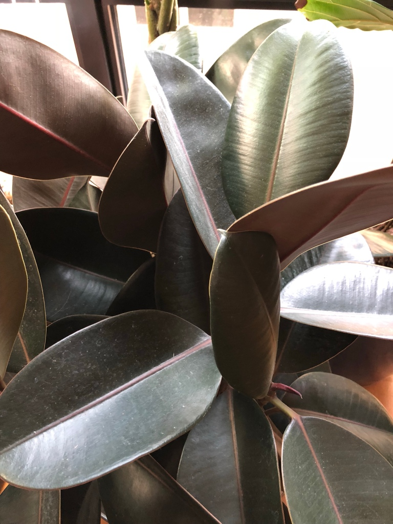 The Rubber Tree – Gems for the Gemini